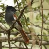 African Paradise Flycatcher – f.