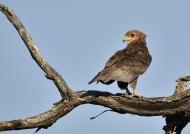 Bateleur Eagle  – Juv.