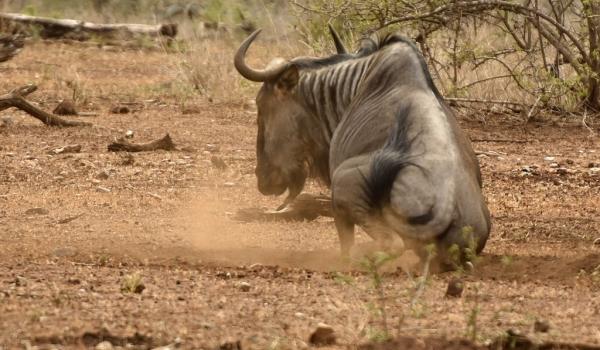 Blue Wildebeest in dust