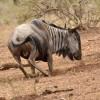 Blue Wildebeest – male