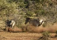 Burchell's Zebras in conflict