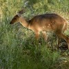 Bushbuck – female