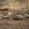 Cheetah with her 4 cubs