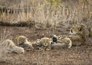 Cheetah with her cubs