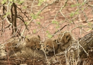 The 4 cheetah cubs sleeping