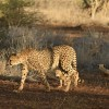 Cheetah moving with cubs