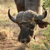 African Buffalo head
