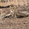 Cheetah with 4 cubs