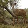 Greater Kudu – female