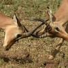 Impalas – horn clashes