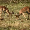 Impalas fighting