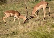 Impalas – males fighting