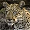 Leopard – female