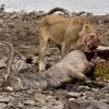 Lion eating a Waterbuck