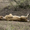 Lion full up enjoying life