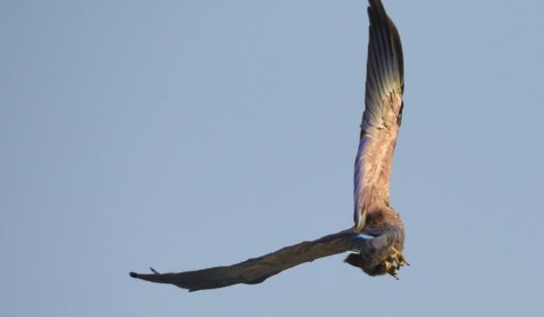 Purple Roller in flight
