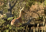 Steenbok  hidding