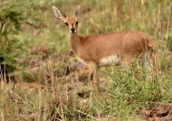 Steenbok – female