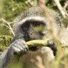 Eating gum of acacia robusta