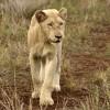 White Lion born free