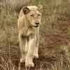 White Lion born free