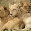 White Lion with Shish pride