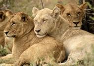 White Lion with Shish pride