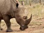 White Rhinos-1er trip
