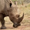 White Rhino have two horns