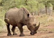 White or Square-lipped Rhino
