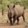 White Rhino is a grazer