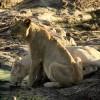 White Lion thirsty