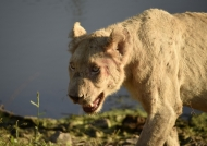 White Lion going to drink
