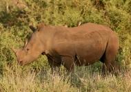 Young White Rhino