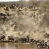 This herd of Wildebeests…