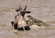 Nile Crocodile attack