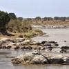 …to cross the Mara River…