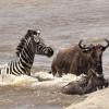 Zebra crossing with Widebeest