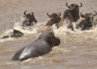 in chasing Wildebeests