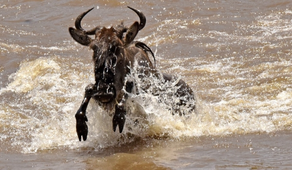 Wildebeest happy end