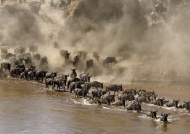 …to cross the Mara River