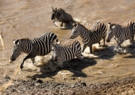 Zebras on the other side