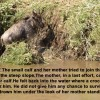 Wildebeest calf story
