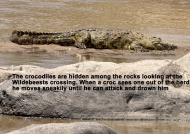 Nile Crocodile story