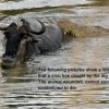 Wildebeest story