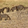 Family of Banded Mongooses