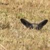 Bat-eared Fox hiding