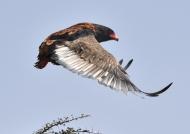 Bateleur Eagle