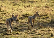 Black-backed Jackals – youngs
