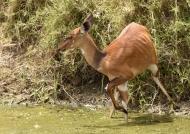 Bushbuck – female